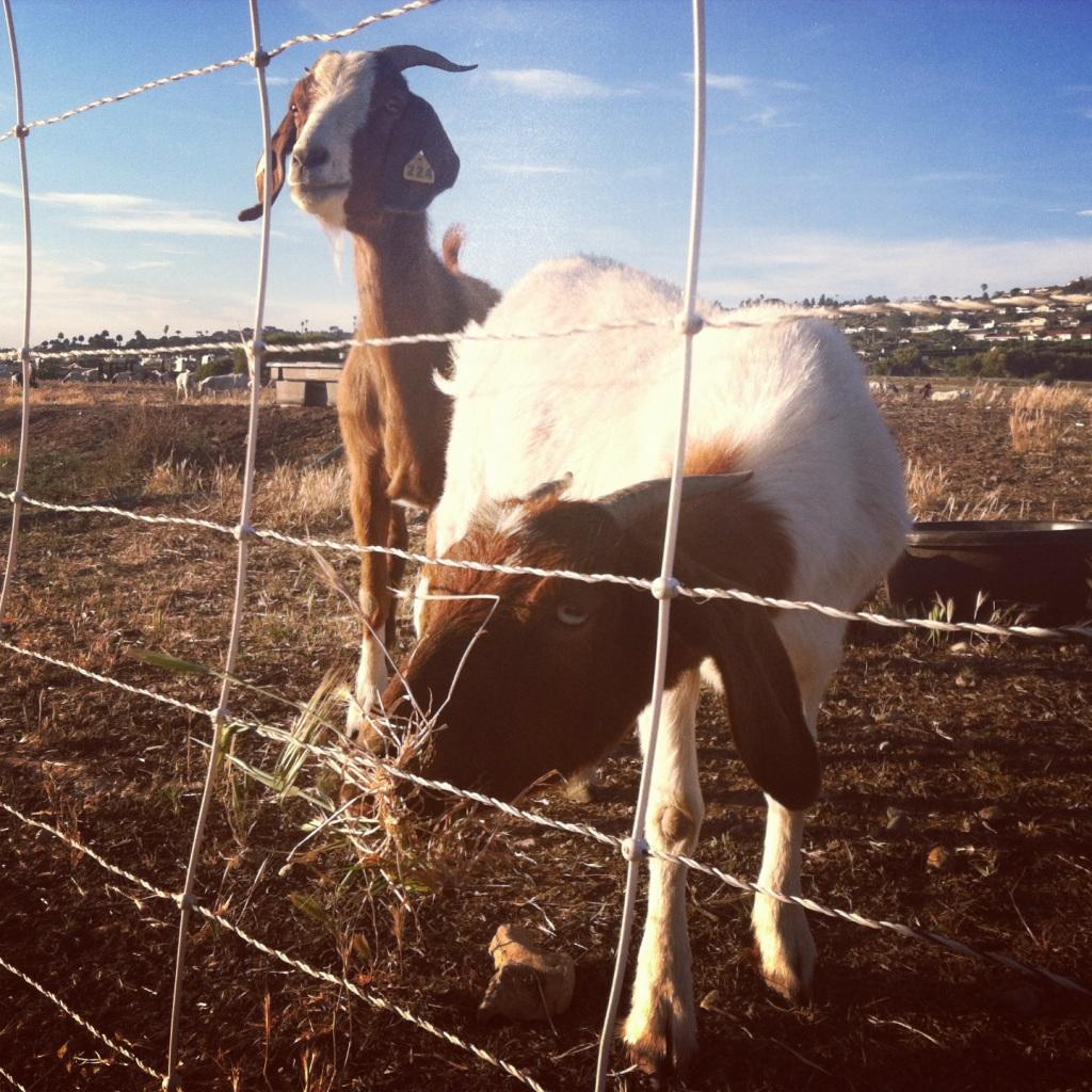 Totes ma-goats.